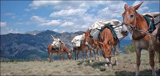 A five mule packstring in the Absaroka-Beartooth Wilderness.