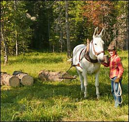 Mule skidding firewood